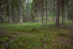 Сосновый лес на осени Стоковые Изображения RF