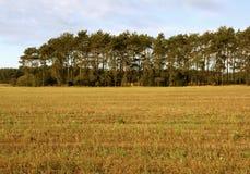 Сосновый лес на поле в осени Стоковое Изображение