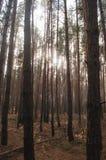 Сосновый лес осени старый Стоковая Фотография