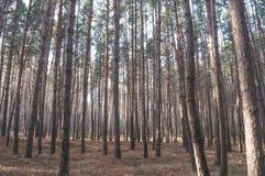 Сосновый лес осени старый Стоковые Фотографии RF