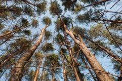 Сосновый лес осени старый Стоковое фото RF