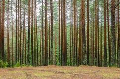 Сосновый лес осени Стоковые Изображения