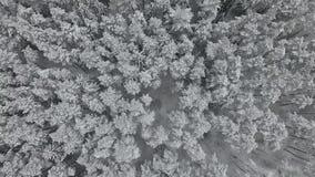 Сосновый лес предусматриванный в снеге сток-видео
