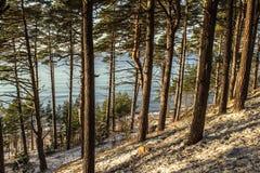 Сосновый лес пляжа в зиме Стоковая Фотография