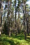 Сосновый лес с голубиками на солнечный день Стоковая Фотография RF