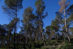 Сосновый лес с голубым небом Стоковые Изображения