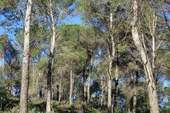 Сосновый лес с голубым небом Стоковое Изображение RF