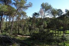 Сосновый лес с голубым небом Стоковые Изображения RF