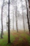Сосновый лес с туманом Стоковое Изображение