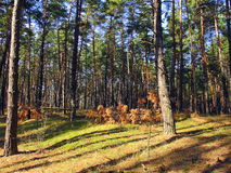 Сосновый лес, тень деревьев Стоковые Фото