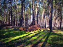 Сосновый лес, тень деревьев Стоковое Фото