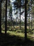 Сосновый лес Финляндия северная Скандинавия ели Стоковое Изображение