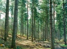 Сосновый лес Стоковое Изображение RF