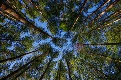 Сосновый лес Стоковая Фотография