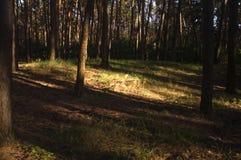 Сосновый лес Стоковые Фотографии RF