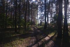Сосновый лес стоковые изображения