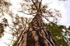 Сосновый лес Borovoe, Казахстан Стоковое Изображение
