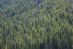 Сосновый лес Lodgepole, ворот Gallatin, Монтана Стоковые Изображения