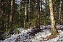 Сосновый лес весны Стоковая Фотография