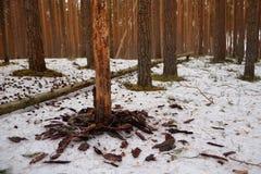 Сосновый лес в апреле Стоковые Изображения RF