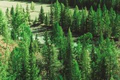 Сосновый лес в горах стоковое изображение
