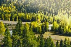 Сосновый лес в горах стоковая фотография rf