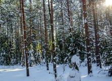 Сосновый лес в дне зимы морозном стоковые фото