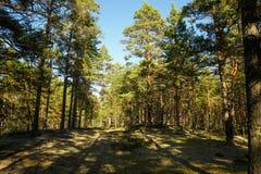 Сосновый лес в полдень стоковые изображения rf