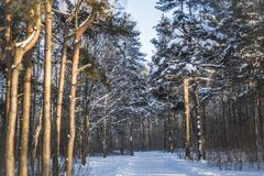 Сосновый лес в солнечном свете стоковые изображения rf