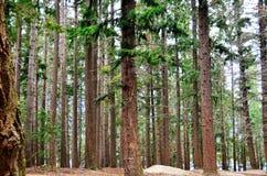 Сосновый лес ели Queenstown Дугласа стоковое фото