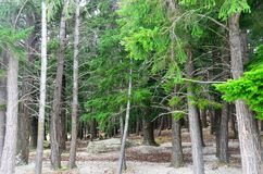 Сосновый лес ели Queenstown Дугласа Стоковое Изображение