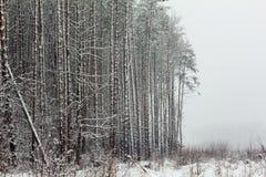 Сосновый лес зимы на крае стоковая фотография rf