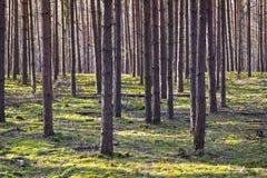 Сосновый лес, монокультура, в Бранденбурге, Германия стоковая фотография rf