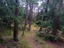 Сосновый лес на вертеле Curonian Побережье Балтийского моря стоковая фотография