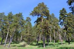 Сосновый лес на горном склоне Стоковая Фотография RF