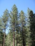 Сосновый лес около озера Big Bear Стоковая Фотография
