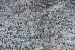 Сосновый лес покрытый снегом в холодном зимнем дне На всей стоковое фото rf