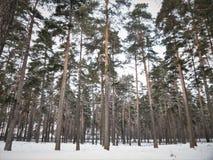 Сосновый лес покрытый с снегом в холодной зиме Стоковые Изображения RF