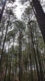 Сосновый лес стоковое фото