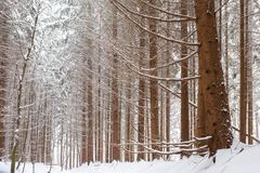 Сосновый лес Snowy в Европе Стоковое Изображение