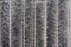Сосновый лес Snowy в Европе Стоковое Изображение RF