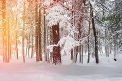 Сосновый лес Snowy Стоковое Фото