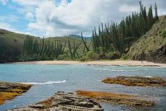 Сосны араукарии пляжа береговой линии Новой Каледонии стоковые фотографии rf