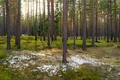 Сосны в парке с зеленой травой и островах снега в e стоковое фото