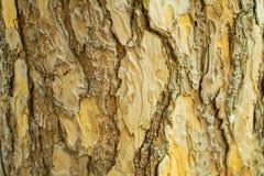 Сосны в расшиве леса и высокорослые углы высокорослой сосны Стоковые Фотографии RF
