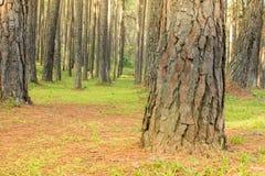 Сосны в расшиве леса и высокорослые углы высокорослой сосны Стоковые Изображения RF