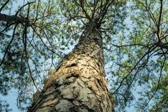 Сосны в расшиве леса и высокорослые углы высокорослой сосны Стоковые Изображения