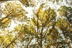 Сосны в расшиве леса и высокорослые углы высокорослой сосны Стоковые Фото