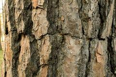 Сосны в расшиве леса и высокорослые углы высокорослой сосны Стоковая Фотография
