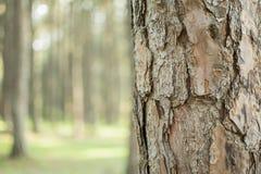 Сосны в расшиве леса и высокорослые углы высокорослой сосны Стоковое Изображение RF